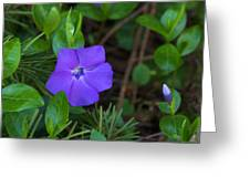 Vinca Blooming In The Forest Greeting Card