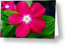 Vinca Flower Greeting Card