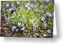 Vinca Violet Purple Clump Greeting Card