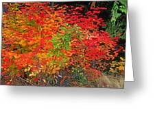 Vine Maple In Oregon Greeting Card