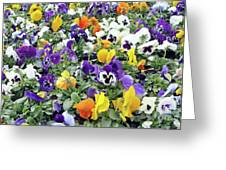 Viola In The Spring Are Especially Beautiful. Greeting Card