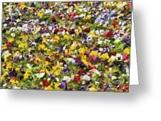 Viola Tricolor Greeting Card