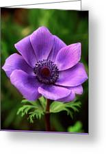 Violet Anemone Greeting Card
