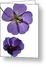 Violet Cranesbill Greeting Card