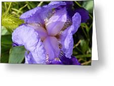 Violet Iris Greeting Card