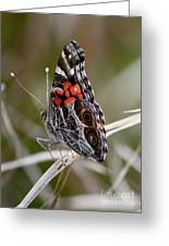 Virginia Lady Butterfly Side View Greeting Card