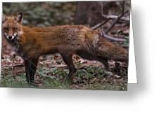 Virginian Red Fox Greeting Card