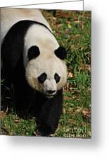 Waddling Giant Panda Bear In A Grass Field Greeting Card