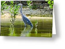 Wading Blue Heron Greeting Card