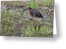 Wading Green Heron Greeting Card