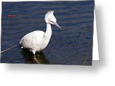 Wading Greeting Card