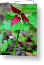 Wake Robin Trillium Greeting Card