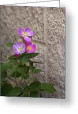 Wall Flower - Wild Rose Greeting Card