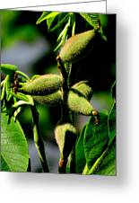 Walnut Buds Greeting Card