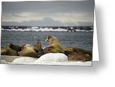 Walruses With Giant Tusks At Arctic Haul-out Greeting Card