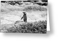 Wandering Penguin From Argentina Greeting Card