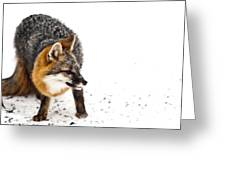 Wary Red Fox Greeting Card