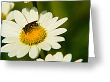 Wasp On Daisy Greeting Card