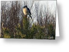 Watchful Blue Jay Greeting Card by Kathy DesJardins