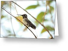 Watchful Hummingbird Greeting Card