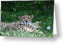 Watchful Resting Greeting Card