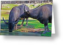 Watching 2 Water Buffalos 1 Water Buffalo Watching Me Greeting Card