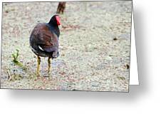 Watching Coot Greeting Card
