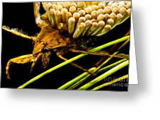 Water Beetle Brooding Eggs Greeting Card