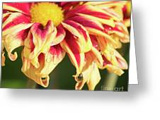 Water Drop On A Chrysanthemum Greeting Card