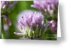 Water Droplets On Chives Flowers Greeting Card