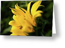 Water Drops And Sunflower Petals Greeting Card by Dennis Dame