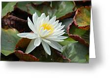 Water Lilly Closeup Greeting Card