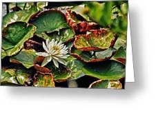 Water Lilly With Brown Pads Greeting Card