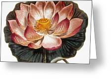 Water Lily, 1806 Greeting Card