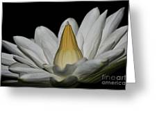 water lily 25 White Night Blooming Water Lily I Greeting Card