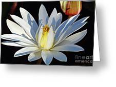 Water Lily At Dusk Greeting Card