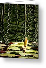 Water Lily Budd Greeting Card