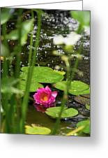 Water Lily In A Pond Greeting Card