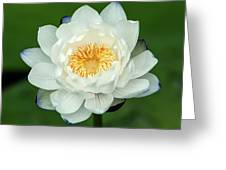 Water Lily In Bloom Greeting Card