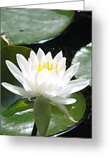 Water Lily Lovely Greeting Card