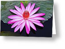 Water Lily-st Lucia Greeting Card