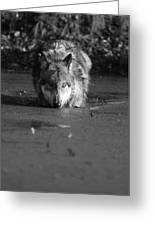 Water Wolf I Greeting Card