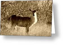 Waterbuck In Sepia Greeting Card