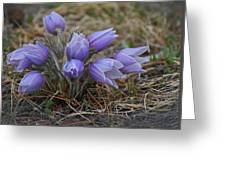 Watercolor Pasque Flowers Greeting Card