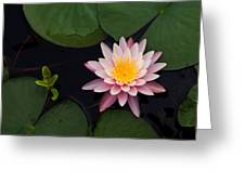 Waterlily - Study In Pink Greeting Card