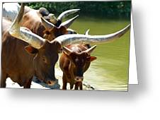 Watusi Cattle Greeting Card