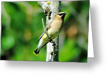 Wax Wing In A Small Branch  Greeting Card