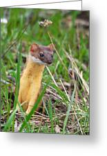 Weasel Greeting Card