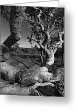 Weather Beaten Pine Tree And Ocean Bay - Monochrome Greeting Card