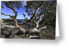 Weather Beaten Pine Tree At The Coast Greeting Card